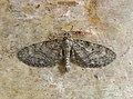 70.164 BF1824 Pauper Pug, Eupithecia egenaria (14132688172).jpg