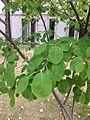 A21-2-Amelanchier laevis (Allegheny Serviceberry).JPG