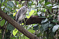 AR PN COSTA03 SANTAY AVITURISMO Yellow Crowned Night Heron 011 (14177551972).jpg