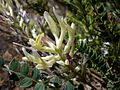 ASTRAGALUS MONSPESSULANUS - AGUDA - IB-934 (Herba de Sant Llorenç).jpg