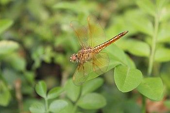 A Fly @bangalore biological park.jpg