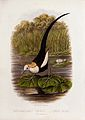 A chinese jacana (Hydrophasianus sinensis). Colour lithograp Wellcome V0022178ER.jpg