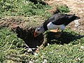 A puffin and her burrow - geograph.org.uk - 1329715.jpg