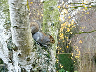 Tree squirrel - A squirrel in the University of Cambridge Botanic Gardens