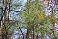A young eastern white pine (pinus strobus) tree in Pennsylvania.jpg