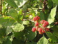 Ab plant 1360.jpg