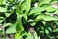Abeliophyllum distichum 0zz.jpg