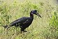 Abyssinian ground hornbill (Bucorvus abyssinicus) - Murchison Falls National Park 04.jpg