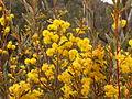 Acacia buxifolia (5053575545).jpg