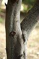 Acacia dealbata trunk.jpg