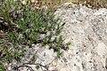 Acantholimon saravschanicum (Plumbaginaceae) (32351539644).jpg