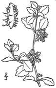 Acanthospermum australe drawing.png