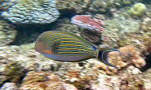 English: Striped Surgeon (Acanthurus lineatus)...