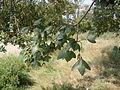 Acer monspessulanum, Odessa.JPG