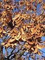 Acer platanoides fruit (Ab plant 146).jpg