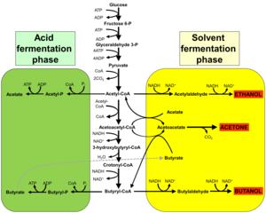 Acetone–butanol–ethanol fermentation - This figure shows pathway of acetone–butanol–ethanol fermentation by clostridia.