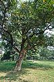 Acharya Jagadish Chandra Bose Indian Botanic Garden - Howrah 2011-01-08 9855.JPG
