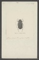 Aclopus - Print - Iconographia Zoologica - Special Collections University of Amsterdam - UBAINV0274 019 15 0020.tif
