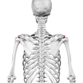 Acromial angle of scapula01.png