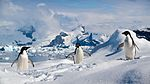 Adelie penguins in the South Shetland Islands.jpg