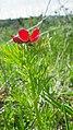 Adonis aestivalis inflorescence (08).jpg