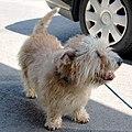 Adult Glen of Imaal terrier.jpg