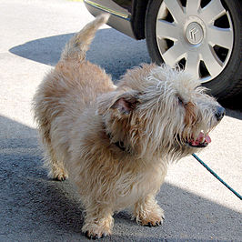 Adult Glen of Imaal terrier.jpg