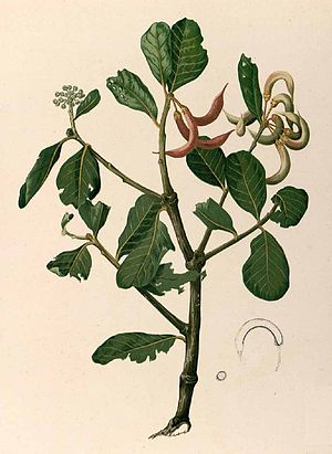 "Tondo (historical polity) - Plate depicting the ""tundok"" plant (Aegiceras corniculatum), from Fray Francisco Manuel Blanco's ""Flora de Filipinas"""