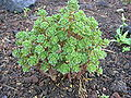 Aeonium spathulatum ssp spathulatum.JPG