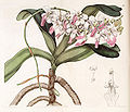Aerides crispa or Aerides crispum - Edwards vol 28 (NS 5) pl 55 (1842).jpg