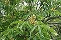 Aesculus flava kz03.jpg
