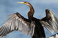 African Darter, Anhinga rufa at Marievale Nature Reserve, Gauteng, South Africa (20562135643).jpg