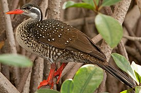 African Finfoot, male breeding 1.jpg