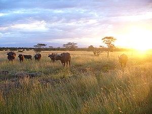Wildlife of Kenya - A herd of African buffalo in Kenya