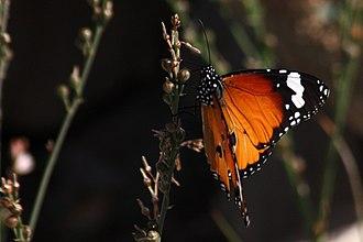 Musandam Peninsula - Image: African monarch (danaus chrysippus)