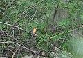 African pygmy kingfisher 2017 11 19 5873.jpg