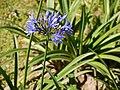 Agapanthus africanus (6367325769).jpg
