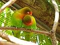 Agapornis fischeri -World of Birds-8a.jpg