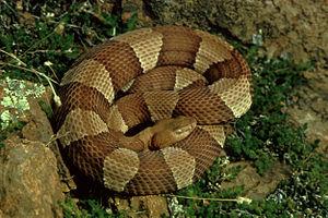Agkistrodon contortrix - Image: Agkistrodon contortrix laticinctus