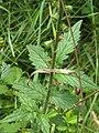 Agrimonia eupatoria (36627530236).jpg