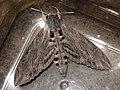 Agrius convolvuli - Convolvulus hawk-moth - Бражник вьюнковый (41238309921).jpg