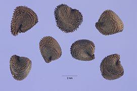 Agrostemma githago seeds.jpg