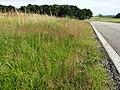 Agrostis stolonifera sl3.jpg