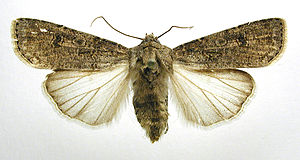 Turnip moth - Mounted