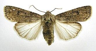 Turnip moth - Mounted