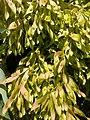 Ailanthus altissima - Αείλανθος ο υψηλότατος 02.jpg