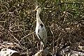 Airone cenerino - Grey heron.jpg