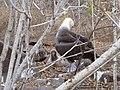Albatross birds - Espanola - Hood - Galapagos Islands - Ecuador (4871038907).jpg