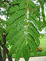 Albizia julibrissin leaves 01 by Line1.jpg