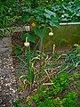 Allium sativum 001.JPG